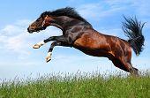 arabian dapple-chestnut stallion poster