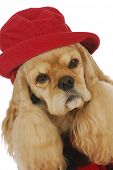 adorable cocker spaniel wearing red hat and plaid coat on white background poster