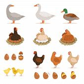 Chicken brood hen, ducks and other farm birds and his eggs. Vector illustrations set in cartoon style. Chicken and goose, duck and chicken eggs poster