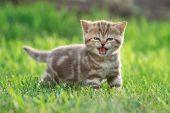 Little kitten cat meowing in the green grass poster