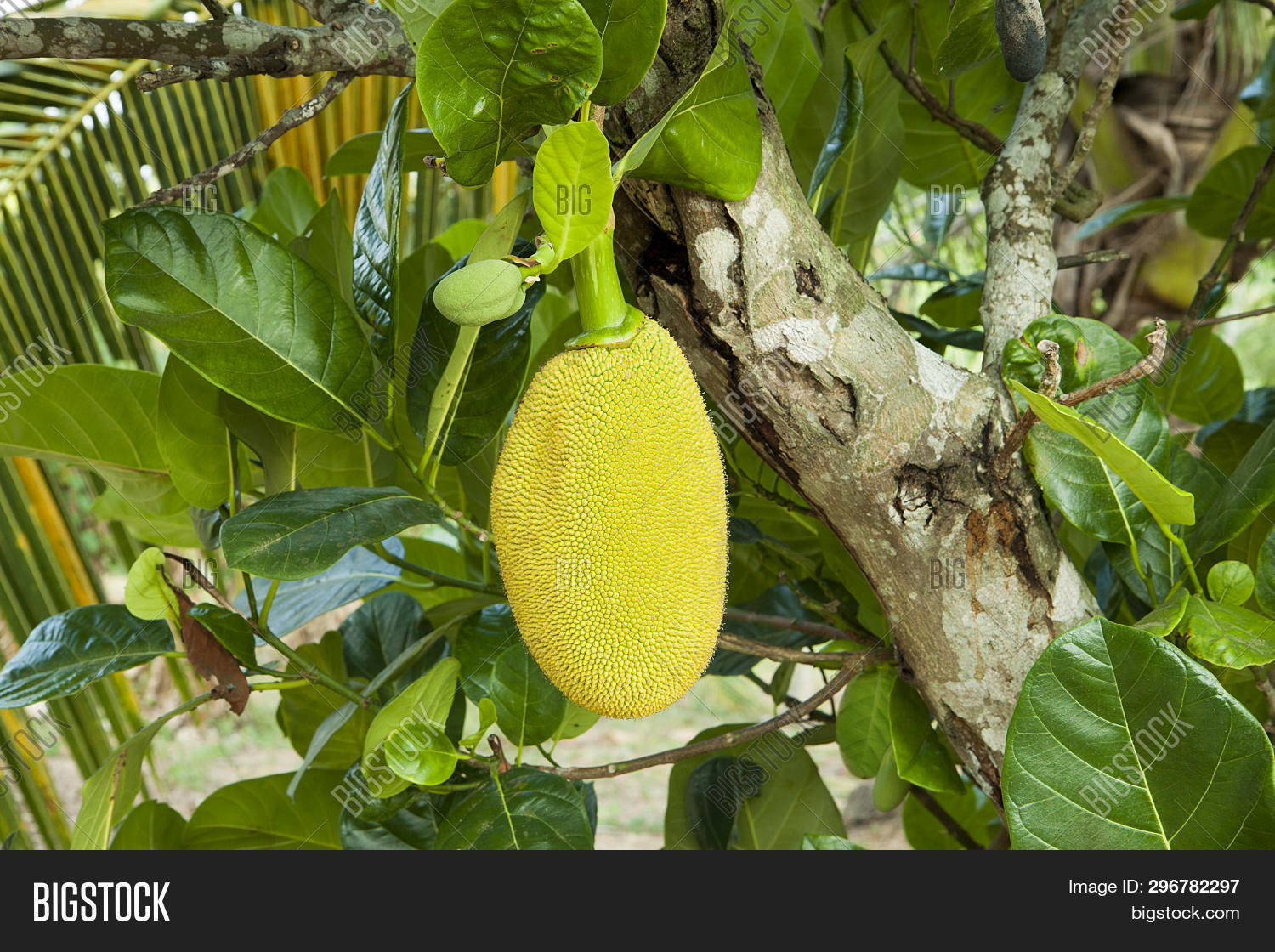 Pictures Of Ripe Jackfruit