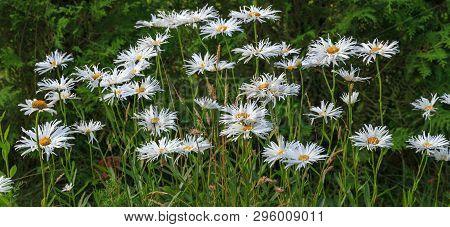 Leucanthemum Maximum Shasta Daisy, Max Chrysanthemum, Daisy Crazy, Wheel, Chain, Chamomel, Gang Bang
