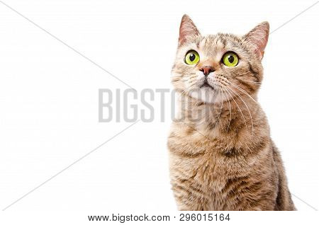 Portrait Of A Curious Cat Scottish Straight  Isolated On White Background