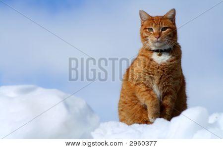 Yellow Tabby Cat Looking