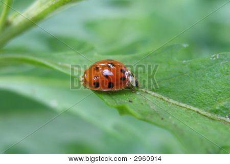 Ladybug On The Green Leaf