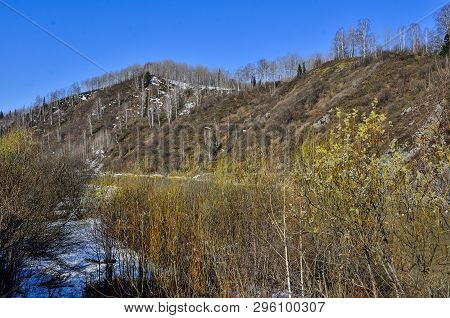 Early spring landscape on mountain river bank with blooming pussy willow bushes at foreground. Melting snow, white trunks of birch trees at sunny day. Fluffy catkins on pussy willow branches poster
