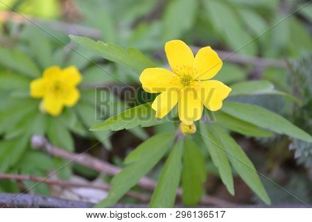 Anemone Ranunculoides. Floral Card Nature. Magic Forest.