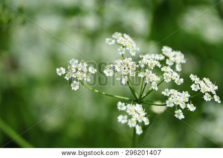 macrophotography of white flowers of a persian cumin or meridian fennel, an aromatic herb poster