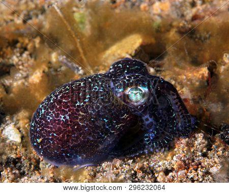 Berrys Bobtail Squid (euprymna Berryi). Anilao, Philippines
