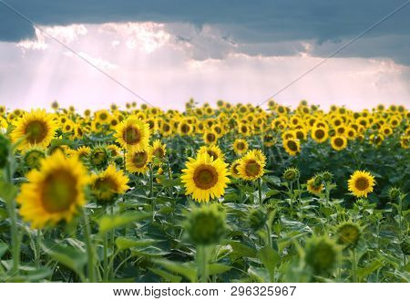 yellow sunflowers on the field and stormy clouds