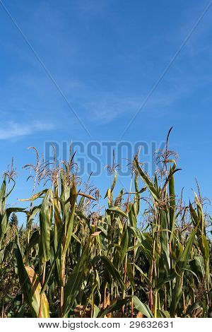 Detail Of Corn Field With Blue Sky