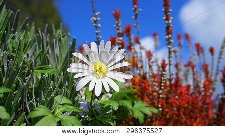 Anemone Blanda White Splendour Flower On Colorful Plants And Blue Sky Background Close Up. Common Na