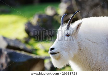 Head and neck of bearded and horned Rocky Mountain Goat with soft focus background