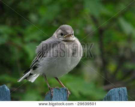 Young wagtail on fence