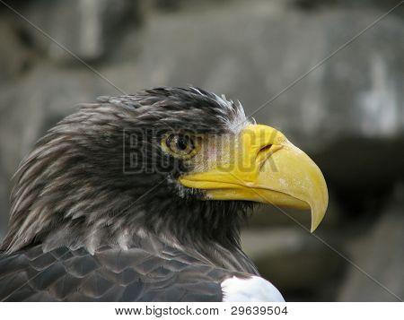 Profile of sea eagle on the stones