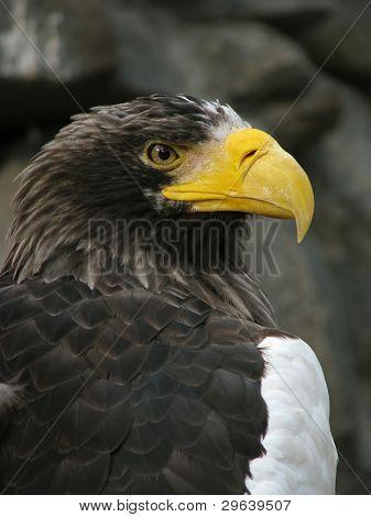 Sea eagle on the stones