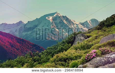 Wonderful Mountains Landscape At Summer Day. Fresh, Pink Flowers Rhododendron On Valley And Snowcove