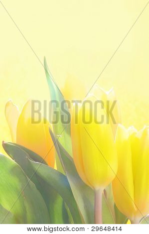 Still-life with yellow tulips over yellow background