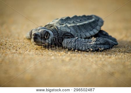 A Baby Hatchling Sea Turtle Struggles For Survival As She Scampers To The Ocean In Cabo Pulmo Nation