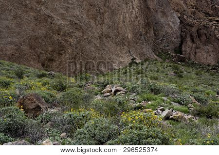 Brittlebush Wildflowers At The Base Of Superstition Mountain, Lost Dutchman State Park, Arizona
