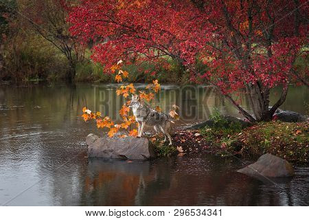 Coyote (canis Latrans) Stands Paws On Rock Island Autumn - Captive Animal