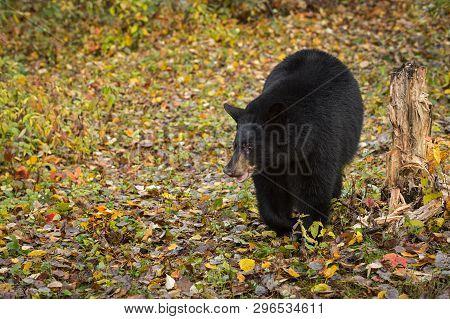 Black Bear (ursus Americanus) Steps Forward Amongst Leaves Autumn - Captive Animal
