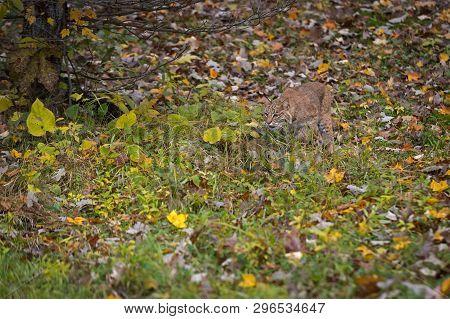 Bobcat (lynx Rufus) Stalks Through Grass And Leaves Autumn - Captive Animal