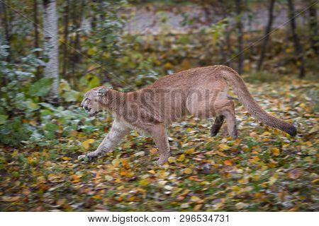 Cougar (puma Concolor) Runs Left Autumn - Captive Animal