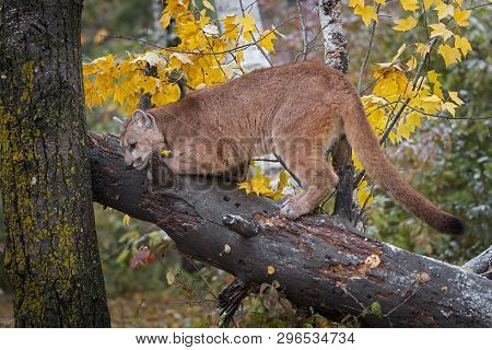 Cougar (puma Concolor) Sharpens Claws On Downed Tree Autumn - Captive Animal