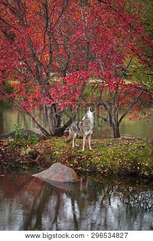 Coyote (canis Latrans) Lifts Head To Howl On Island Autumn - Captive Animal