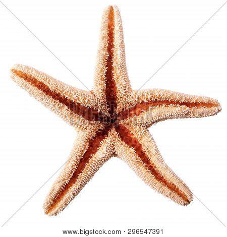 Single Starfish Seastar Isolated On White Background