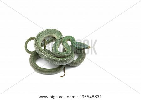 Vietnamese Longnose Rat Snake Isolated On White Background