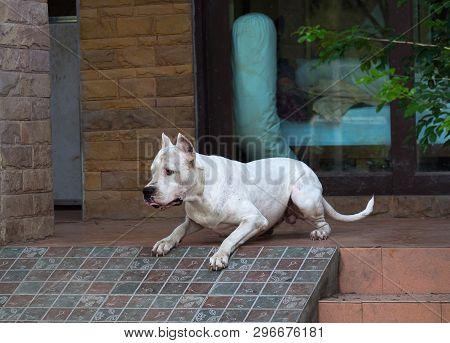 Guard Argentino Dog Before Jumping Or Attack In Front Of The House