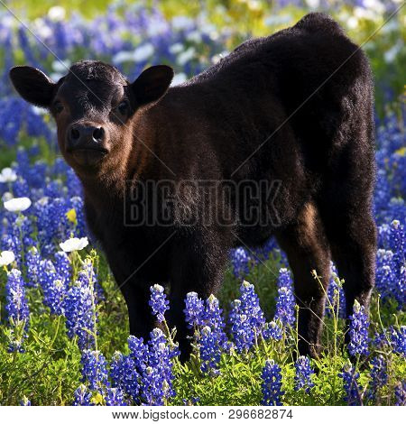 Calf In A Meadow Of Bluebonnets In Texas Hill Country.