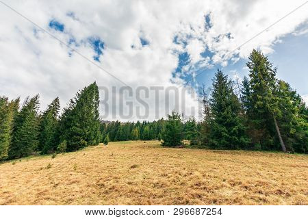 Wonderful Countryside In Springtime. Row Of Spruce Trees On A Hill. Meadow With Weathered Grass. Sun