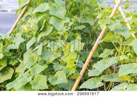Close Up Of Cucumber(cucumis Sativus) In The Garden