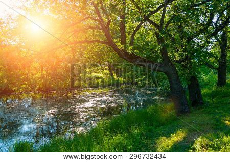 Summer forest landscape. Green oak tree on the bank of the small forest river in summer sunny morning. Dense forest scene, green forest trees in cloudy weather. Forest spring nature