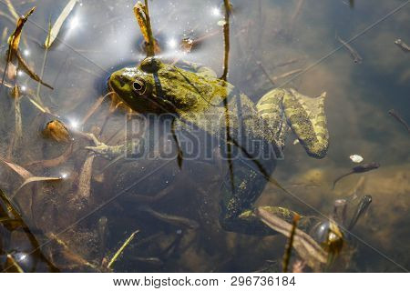 Green Frog With Tadpoles In Water, Close-up.