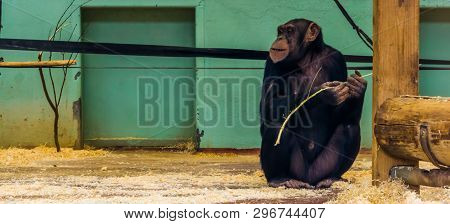 portrait of a chimpanzee holding a branch, Ape with alopecia areata, common animal disease poster