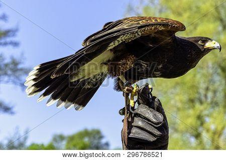 Harris Hawk (parabuteo Unicinctus) Formerly Known As The Bay-winged Or Dusky Hawk