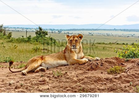 The Lioness from Kenya