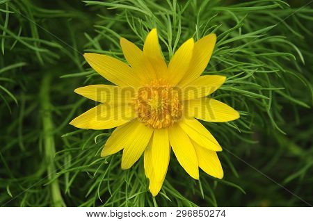 Close-up Of Yellow Blossom Of Adonis Vernalis, A Poisonous Plant Used In Homeopathy