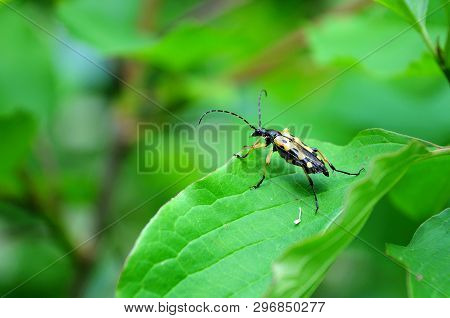 Rutpela Maculata, A Beetle Of The Longhorn Family With Yellow And Black Pattern On Wings, Sitting On