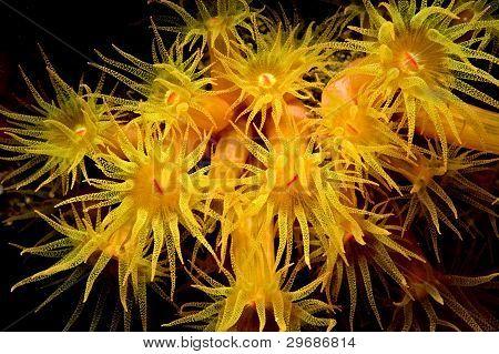 Golden zoanthid colony