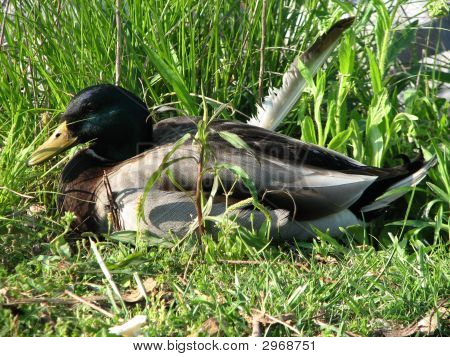 A picture of a beautiful Mallard with a broken wing poster