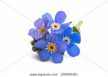 Forget-me- Not Beautiful Isolated On White Background