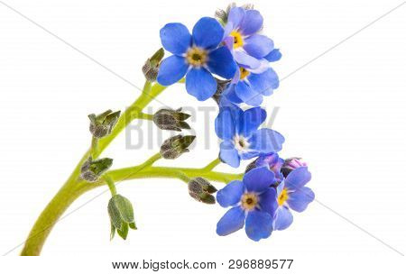 Blue Flower  Forget-me-not Isolated On White Background
