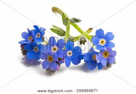Forget-me-not  Blue Flower Isolated On White Background