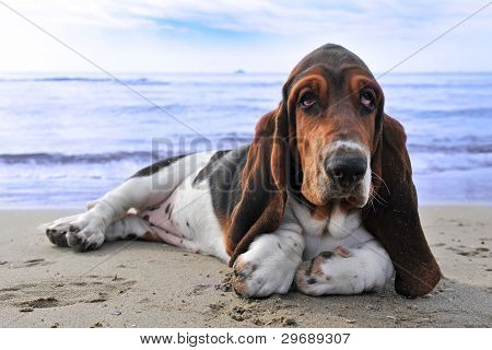 Basset Hound On A Beach