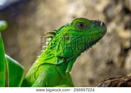 Iguana At The Zoo. An Animal In Captivity. Animal In The Zoo. Dangerous Wild Animal.